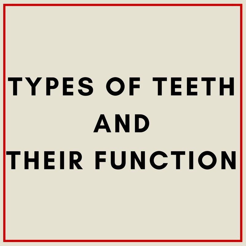 Types of teeth and their function