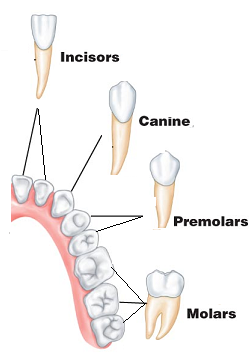 types of teeth