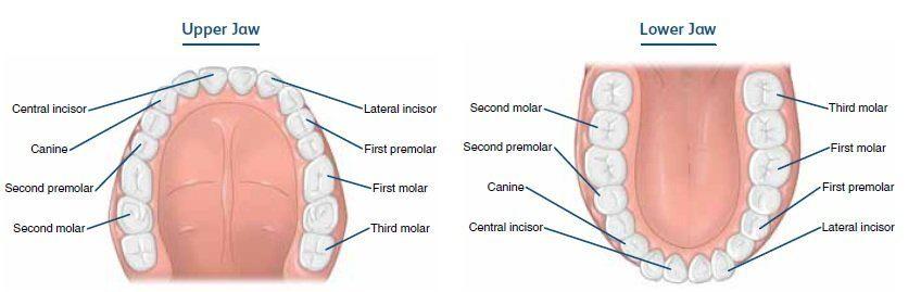 Types of Teeth