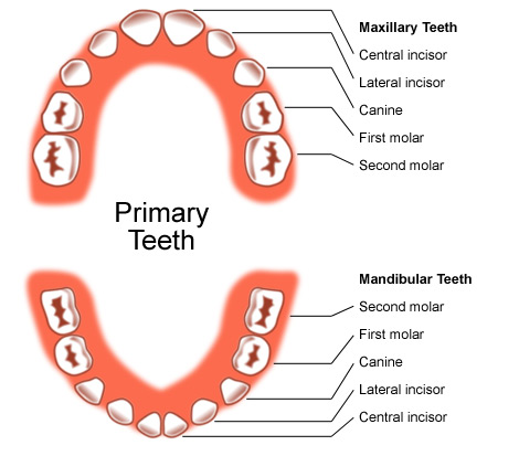 primary teeth
